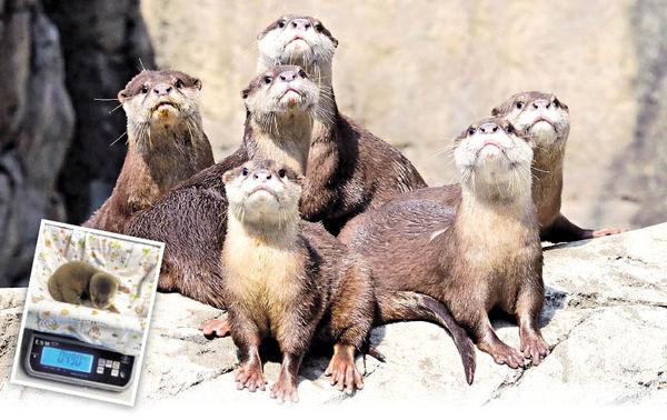 疫情無阻海洋公園添丁 超萌水獺企鵝BB陸續出世
