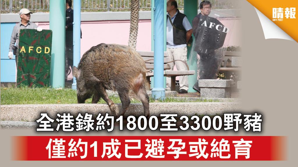 野豬問題|全港錄約1800至3300野豬 僅約1成已避孕或絕育