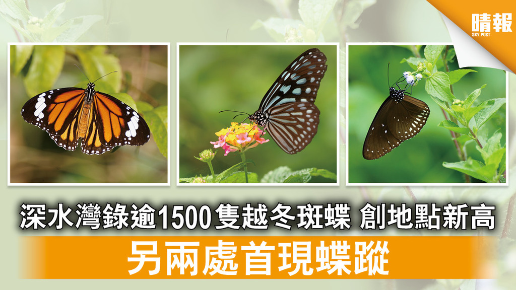 斑蝶調查 深水灣錄逾1500隻越冬斑蝶 創地點新高 另兩處首現蝶蹤(多圖)