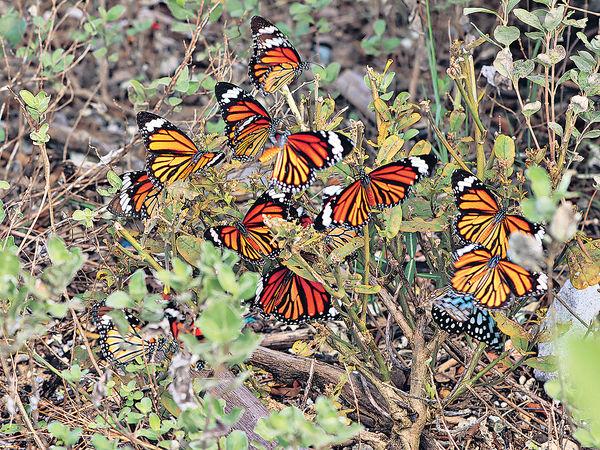 深水灣錄逾1500斑蝶創新高 新增兩地點出沒