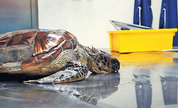 萬宜水庫發現綠海龜屍 體內逾40件海洋垃圾
