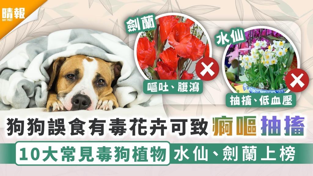 年花陷阱│狗狗誤食有毒花卉可致痾嘔抽搐 10大常見毒狗植物水仙、劍蘭上榜