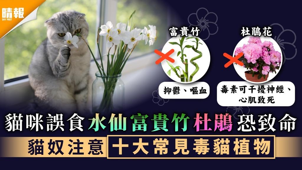 年花陷阱︳貓咪誤食水仙富貴竹杜鵑恐致命 貓奴注意十大常見毒貓植物