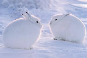 雪地精靈圓碌碌北極兔 好比毛毛球雪米糍超可愛~ 企高似袋鼠反差萌爆燈!