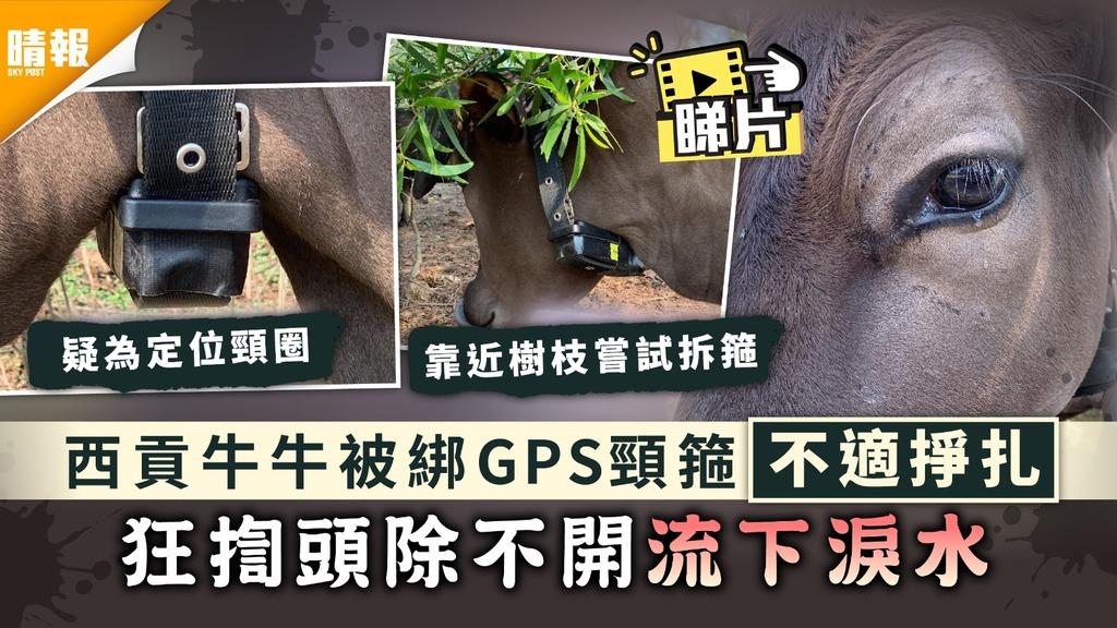 保護動物 西貢牛牛被綁GPS頸箍不適掙扎 狂揈頭除不開流下淚水