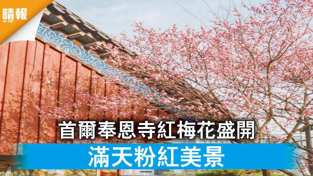 日韓記事|首爾奉恩寺紅梅花盛開 滿天粉紅美景