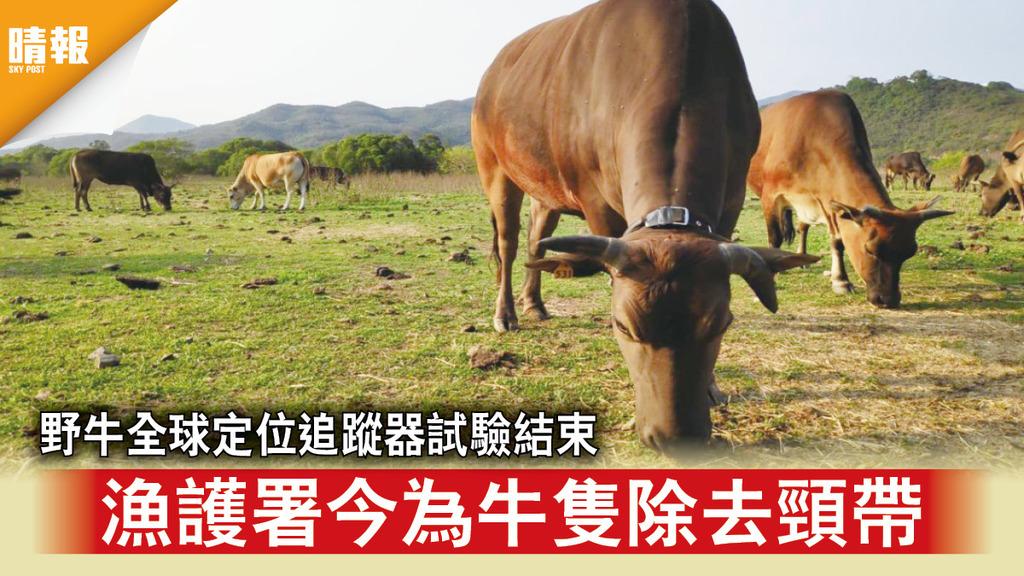 虐牛爭議|野牛全球定位追蹤器試驗結束 漁護署今為牛隻除去頸帶