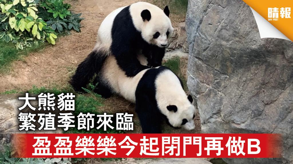 海洋公園|大熊貓繁殖季節來臨 盈盈樂樂今起閉門再做B