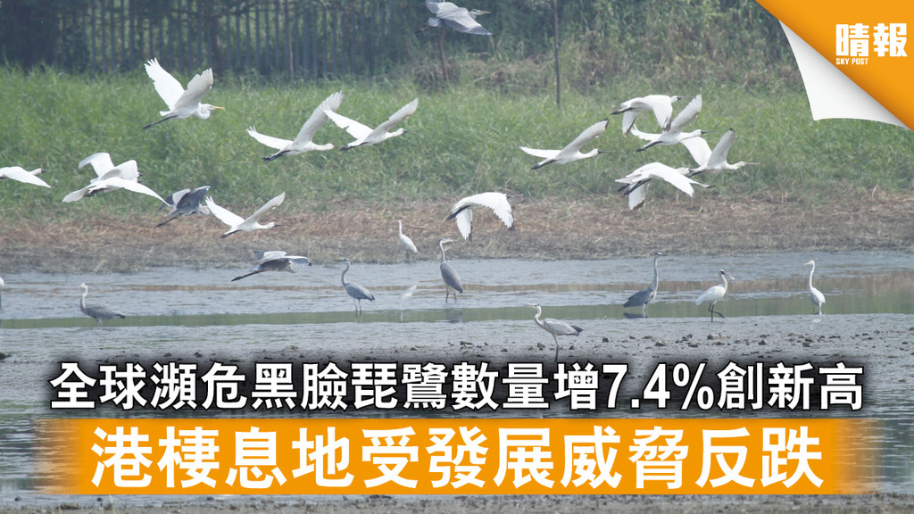 自然生態 全球瀕危黑臉琵鷺數量增7.4%創新高 港棲息地受發展威脅反跌(多圖)