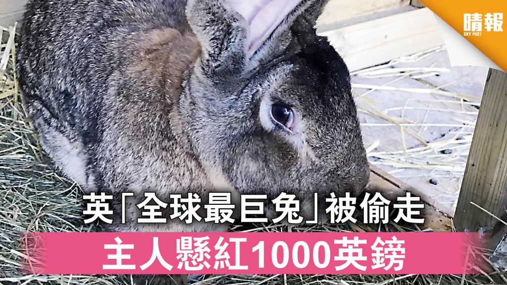 離奇失竊|英「全球最巨兔」遭盜 主人懸紅1000英鎊(多圖)