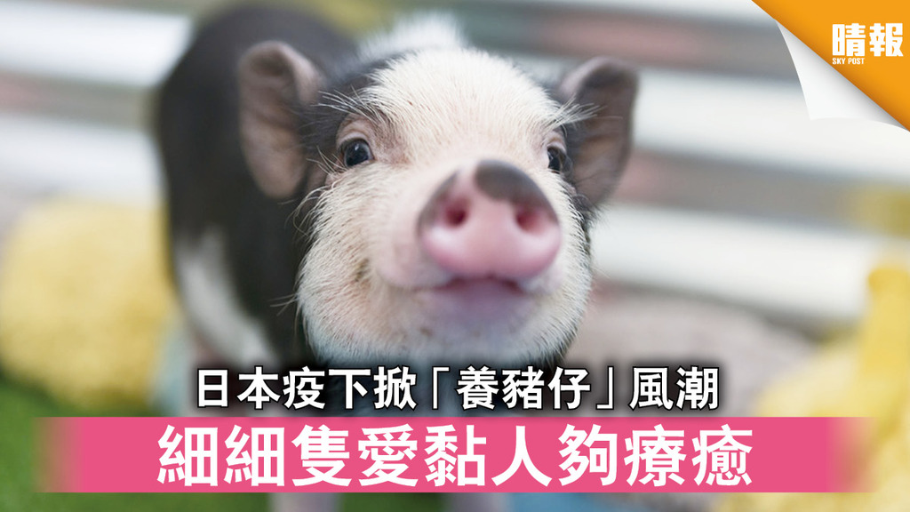 日韓記事 日本疫下掀「養豬仔」風潮 細細隻愛黏人夠療癒(多圖)