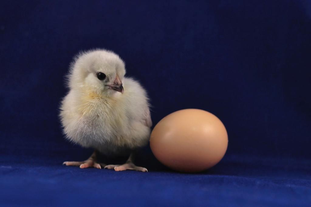 【天方夜譚】內地校長稱熟雞蛋可變生雞蛋 用念力成功孵出40隻小雞登學術論文