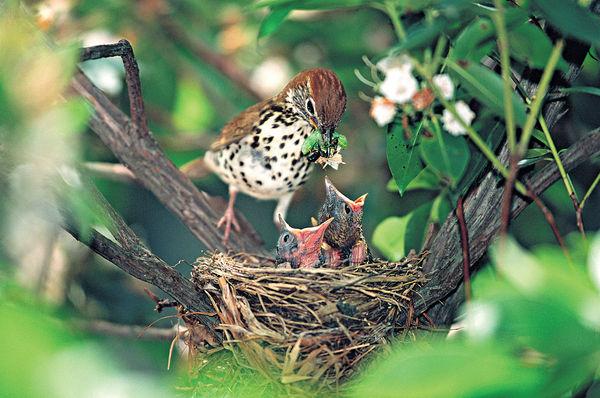 近距離直擊鳥媽媽餵食幼鳥