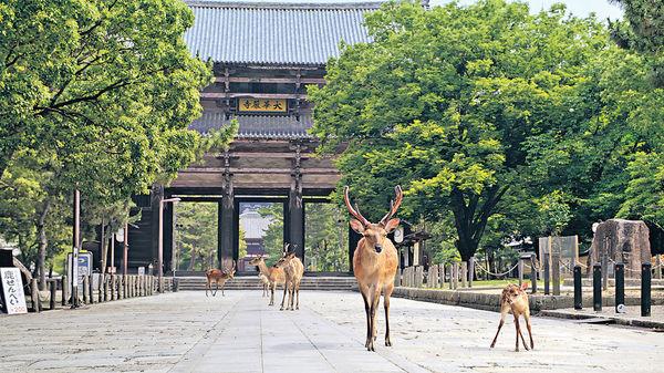 疫情下眼睛想旅行 「探訪」奈良梅花鹿