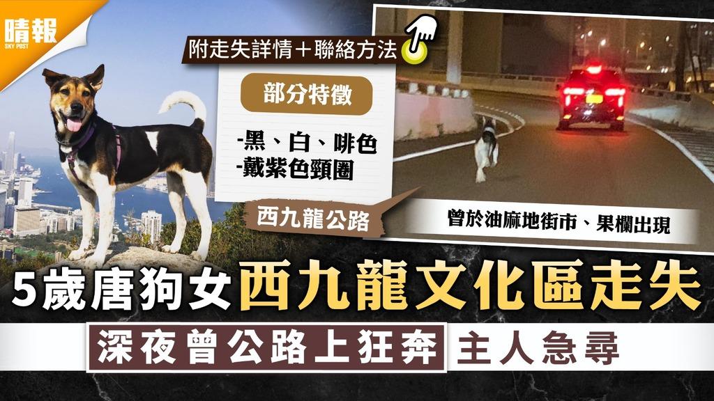 尋狗啟事|5歲唐狗女西九龍文化區走失 深夜曾公路上狂奔主人急尋|附狗狗特徵