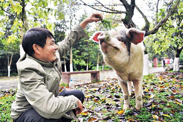 汶川大地震奇迹生還 14歲「豬堅強」去世 或製標本