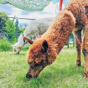 暑假樂遊元朗農莊 親親超萌小羊駝