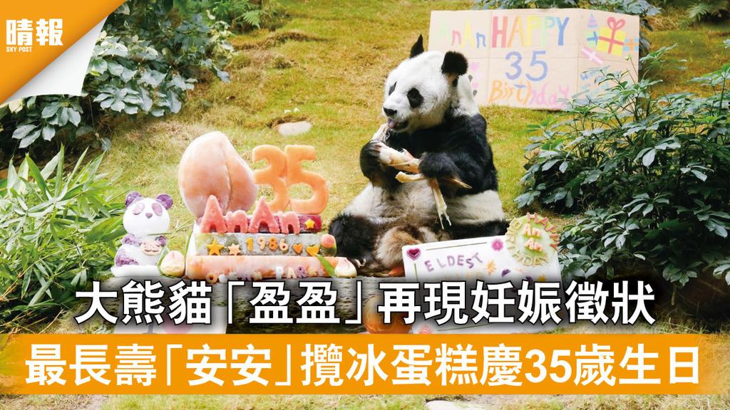 海洋公園 大熊貓「盈盈」再現妊娠徵狀 最長壽「安安」攬冰蛋糕慶35歲生日(多圖)