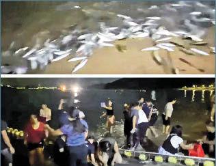 逾千魚長洲東灣「登岸」 專家:疑被船驚動